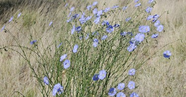 Lewis's Flax Wildflowers