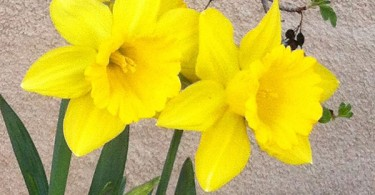 How to Care for your Daffodils