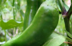 Grafted Jalapeno