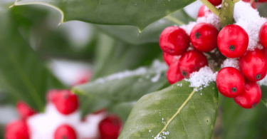 Holly-Plants-for-the-Winter-Garden_FeatImg